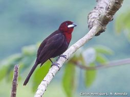 Image of Silver-beaked Tanager