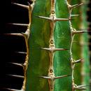 Image of <i>Euphorbia griseola</i> ssp. <i>mashonica</i>