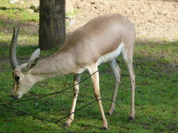 Image of Rhim gazelle