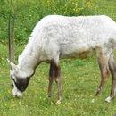 Image of Arabian Oryx