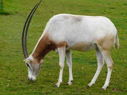 Image of Scimitar-horned Oryx