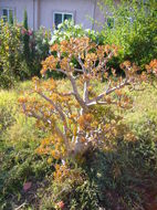 Image of jade plant