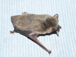 Image of <i>Pipistrellus capensis</i>