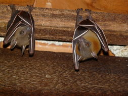 Image of Lesser short-nosed fruit bat