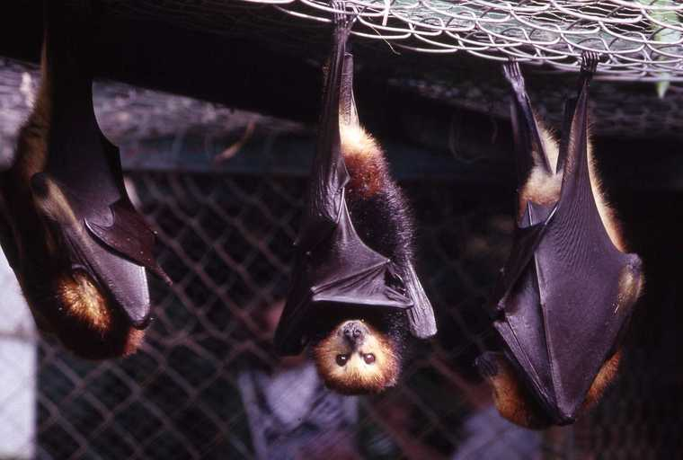 Image of Greater Mascarene Flying Fox