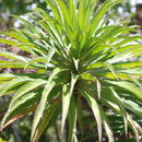 Image of Kauai false lobelia