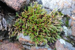 Image of bushy spikemoss