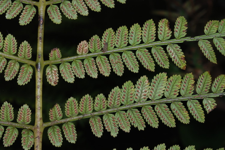 Image of Hawai'i potato fern