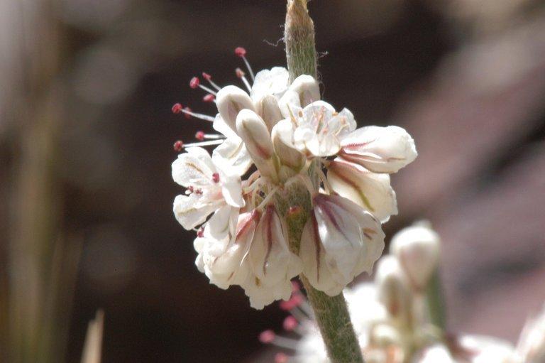 Image of Wyman Creek buckwheat