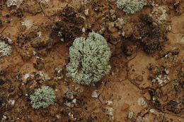 Image of <i>Niebla dactylifera</i> Spjut