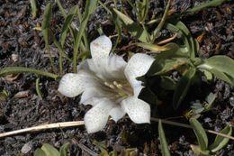 Image of alpine gentian