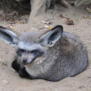 Image of Bat-eared Fox