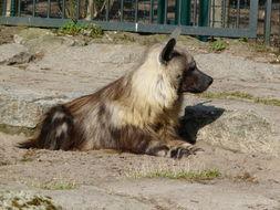 Image of Brown Hyena