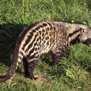 Image of African Civet