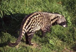 Image of African Civet