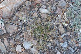 Image of Bear Valley sandwort