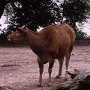 Image of Banteng