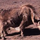 Image of Yak
