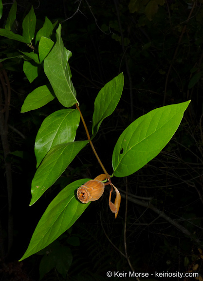 Image of western sweetshrub