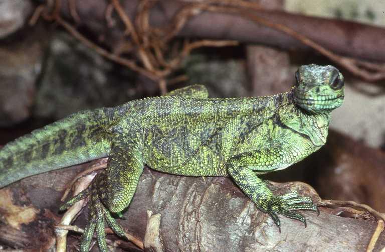 Image of Sailfin Lizard