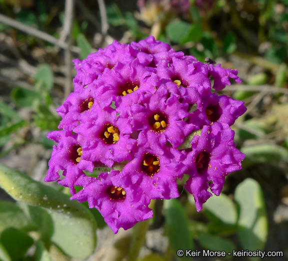 Image of red sand verbena