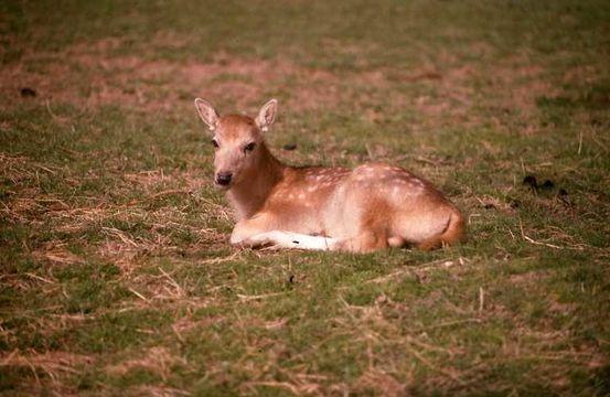 Image of Pere David's Deer