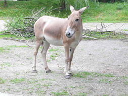Image of onager
