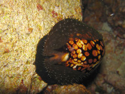 Image of Humpback Cowrie
