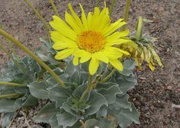 Image of Panamint daisy
