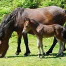 صورة <i><i>Equus</i></i> (Equus) <i>caballus</i> Linnaeus 1758
