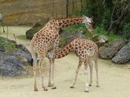 Image of Kordofan giraffe