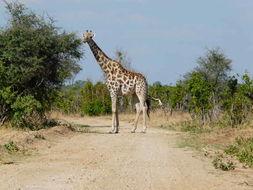 Image of South African Giraffe