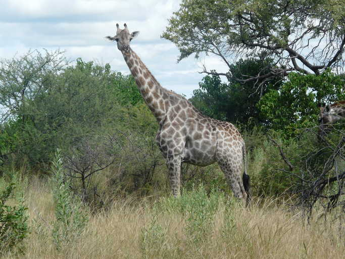 Image of South African Giraffe