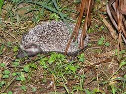 Image of Four-toed Hedgehog