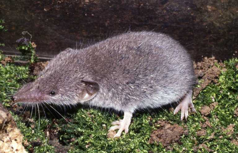 Image of Lesser Shrew