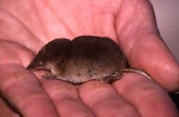 Image of Crowned Shrew