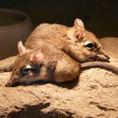 Image of Rufous Elephant Shrew