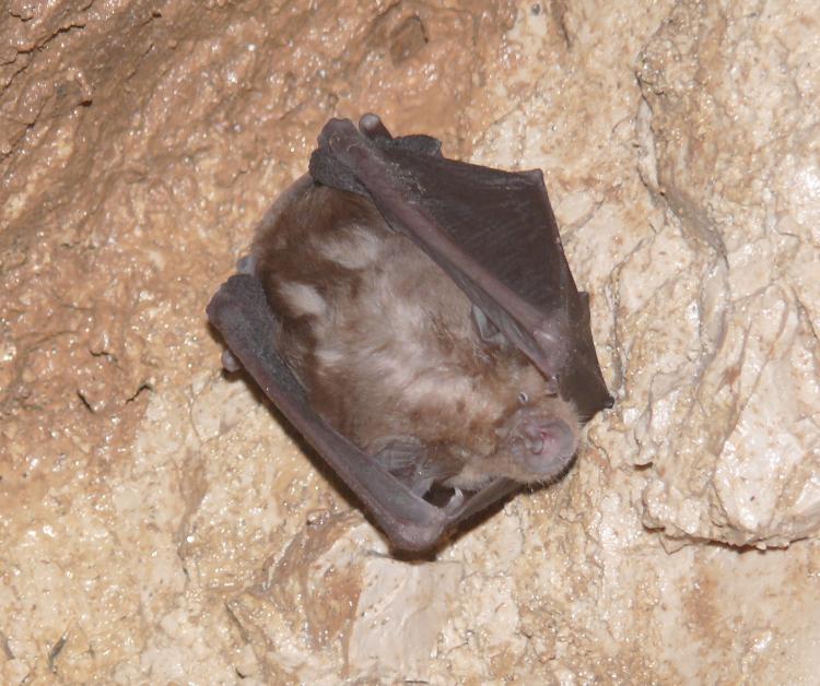 Image of Greater horseshoe bat