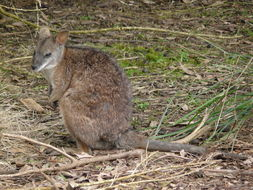 Image of Parma Wallaby