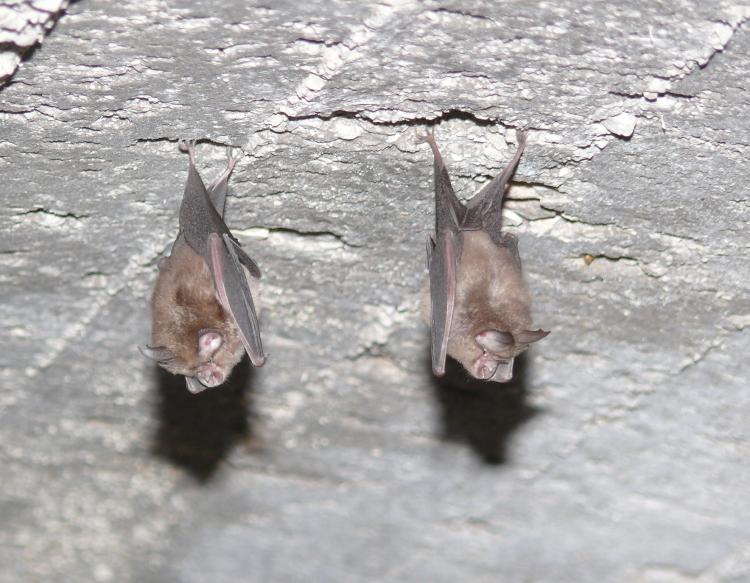 Image of Mediterranean horseshoe bat