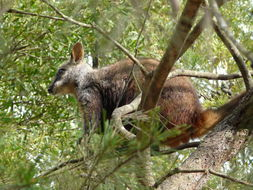 Image of Brush-tailed rock wallaby