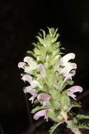 Image of Dudley's lousewort