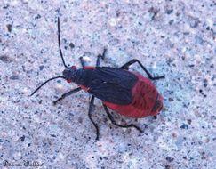 Image of Red-shouldered bug