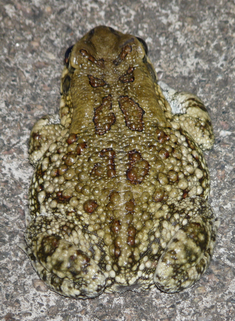 Image of Eastern Olive Toad