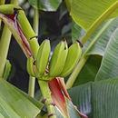 Image of <i>Musa</i> × <i>paradisiaca</i>