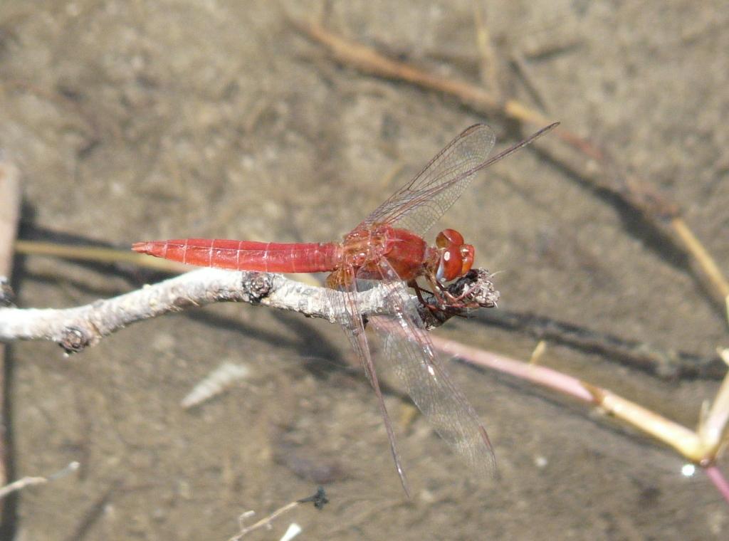 Image of Little Scarlet