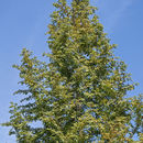 Image of Dawn Redwood