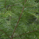 Image of Chinese golden larch