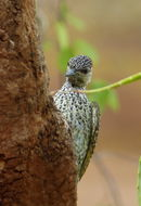 Image of Golden-tailed Woodpecker