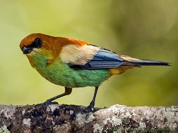 Image of Chestnut-backed Tanager